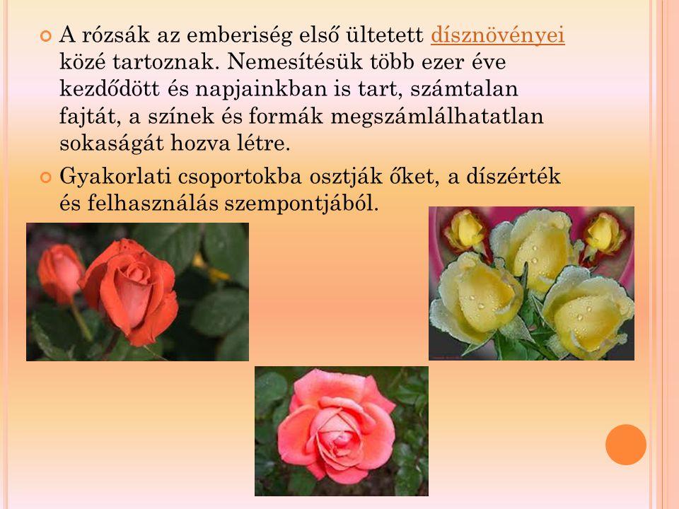 A rózsák az emberiség első ültetett dísznövényei közé tartoznak