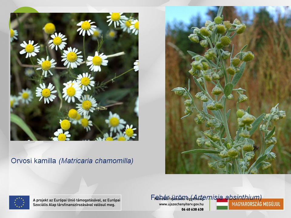 Orvosi kamilla (Matricaria chamomilla)