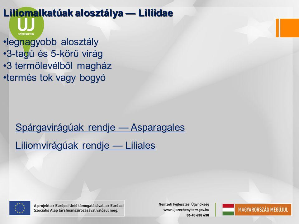 Liliomalkatúak alosztálya — Liliidae