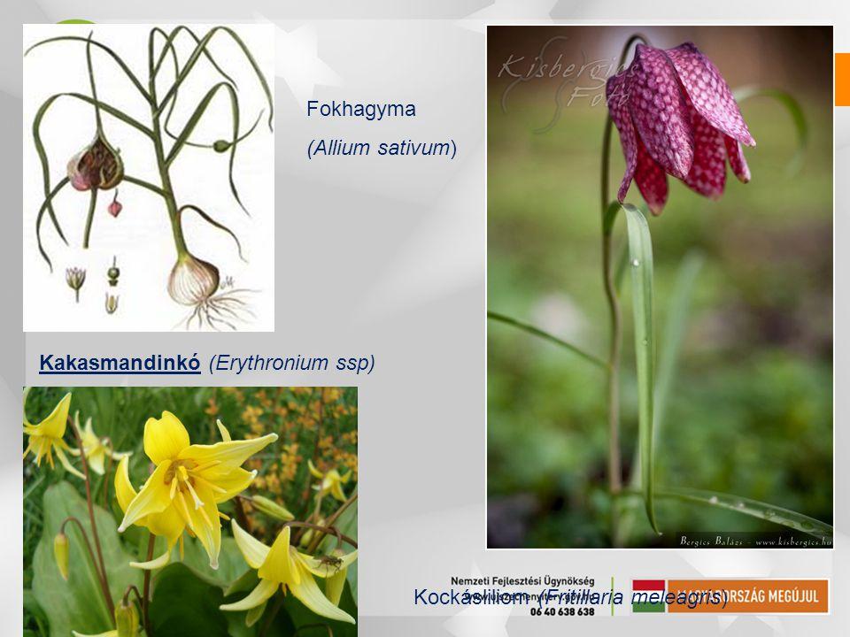 Fokhagyma (Allium sativum) Kakasmandinkó (Erythronium ssp) Kockásliliom (Fritillaria meleagris)