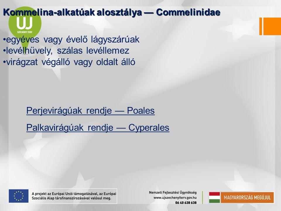 Kommelina-alkatúak alosztálya — Commelinidae