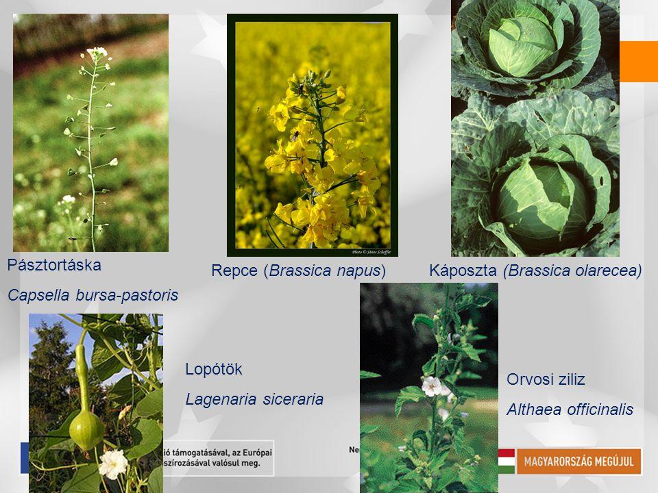Pásztortáska Capsella bursa-pastoris. Repce (Brassica napus) Káposzta (Brassica olarecea) Lopótök.