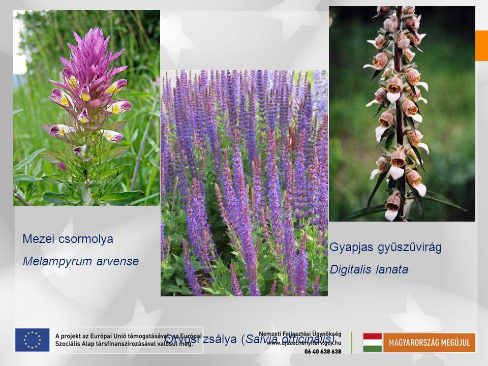Mezei csormolya Melampyrum arvense. Gyapjas gyűszűvirág.