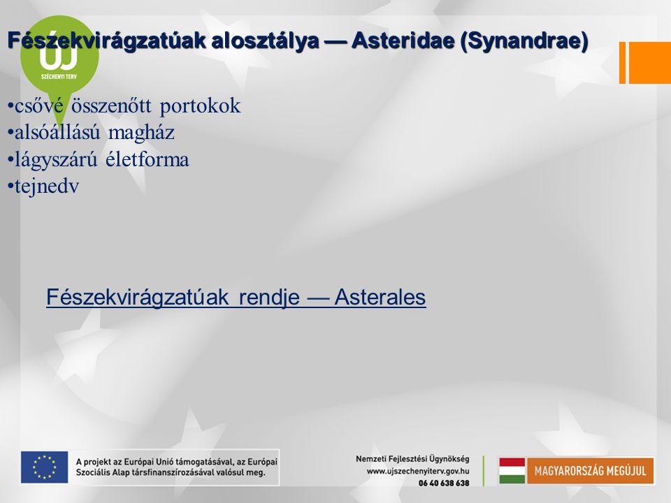 Fészekvirágzatúak alosztálya — Asteridae (Synandrae)