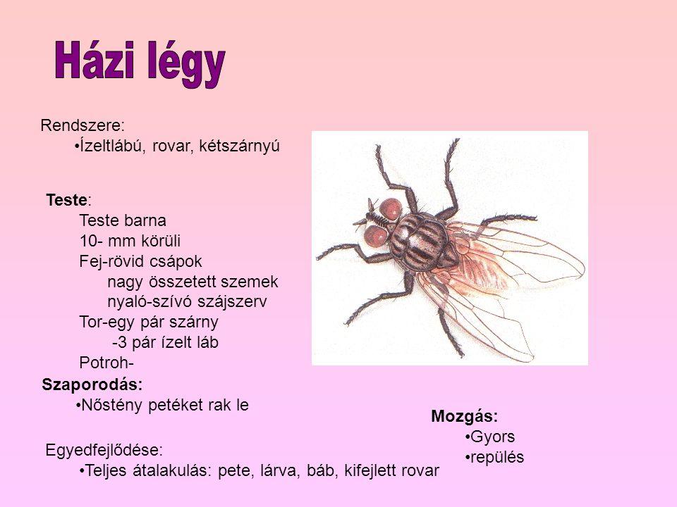 Házi légy Rendszere: Ízeltlábú, rovar, kétszárnyú Teste: Teste barna