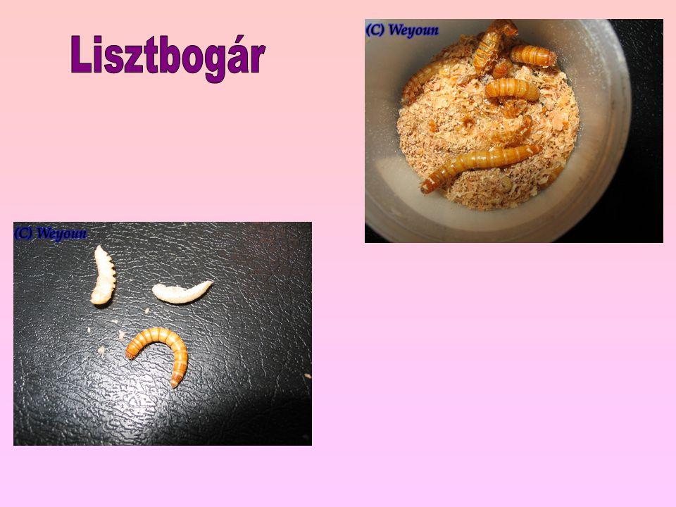 Lisztbogár
