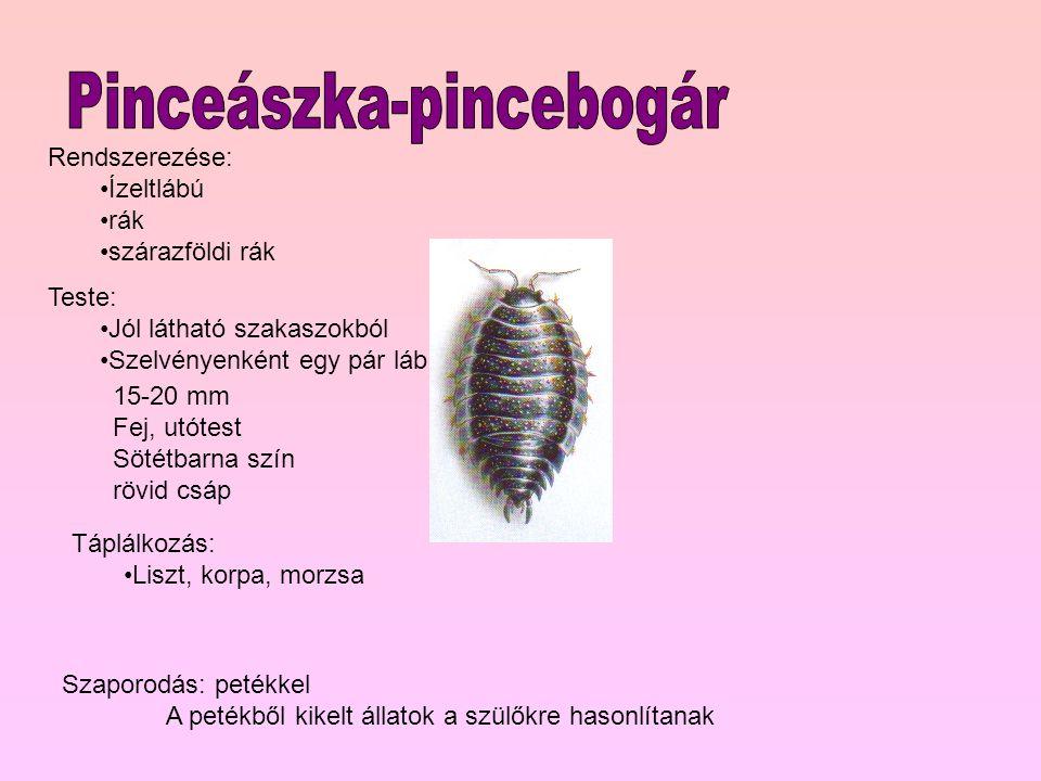 Pinceászka-pincebogár