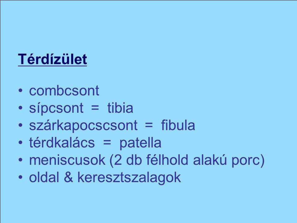 Térdízület combcsont. sípcsont = tibia. szárkapocscsont = fibula. térdkalács = patella. meniscusok (2 db félhold alakú porc)
