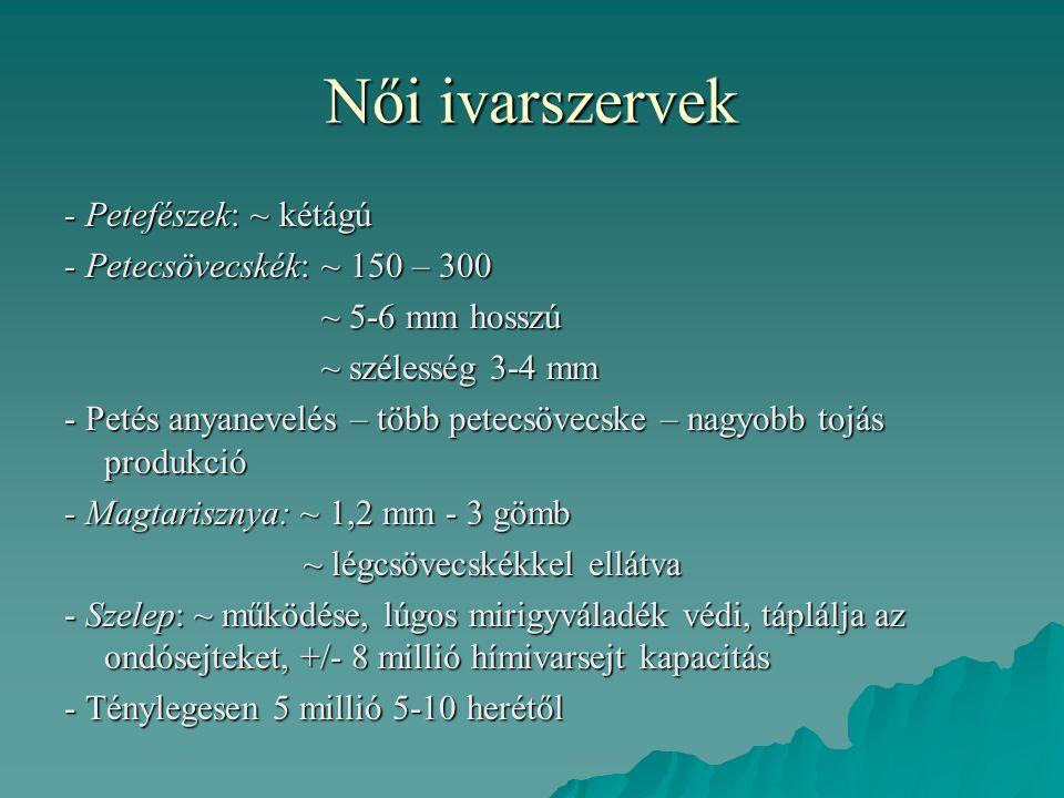Női ivarszervek - Petefészek: ~ kétágú - Petecsövecskék: ~ 150 – 300