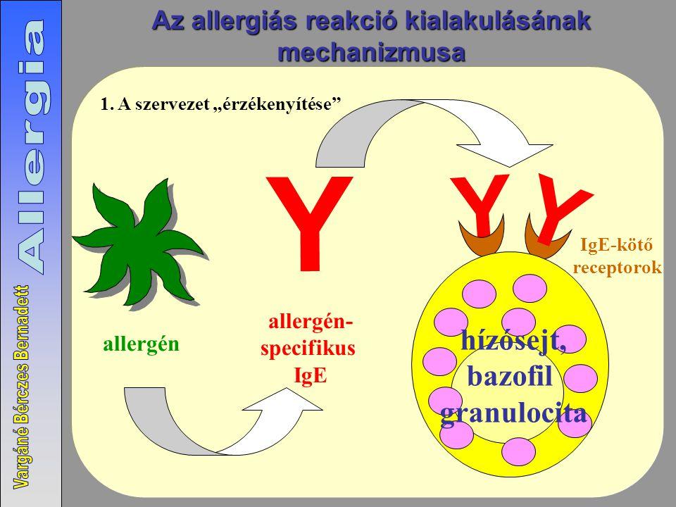 Az allergiás reakció kialakulásának
