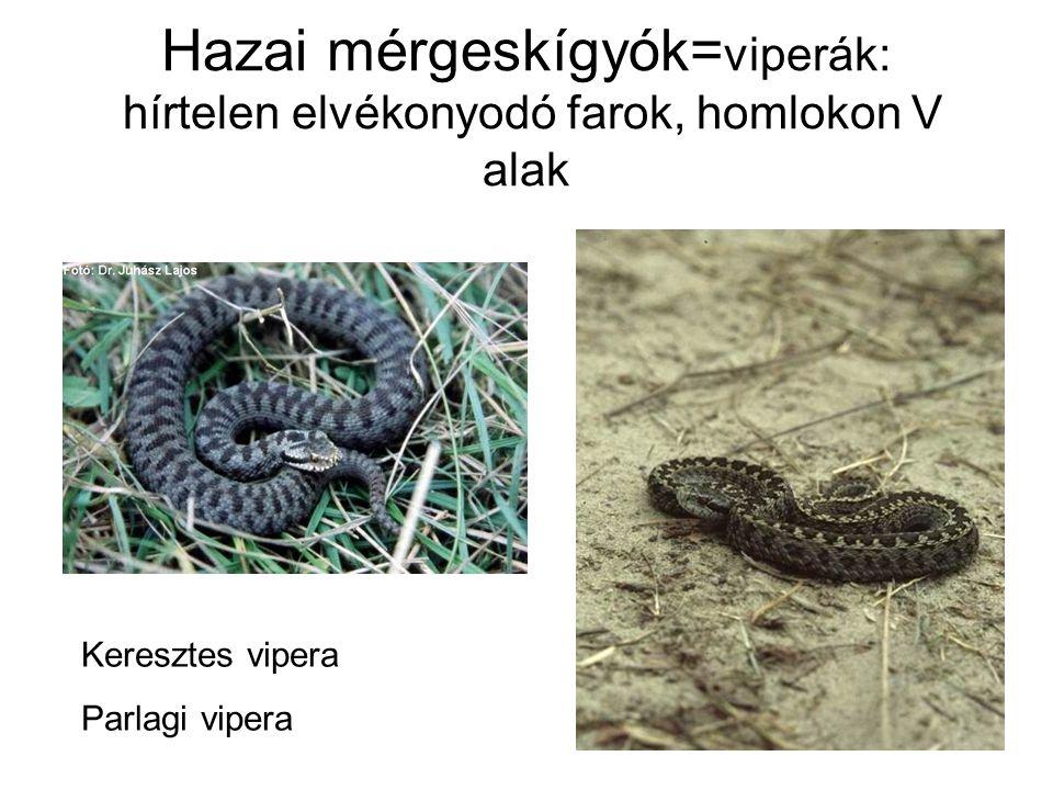Hazai mérgeskígyók=viperák: hírtelen elvékonyodó farok, homlokon V alak