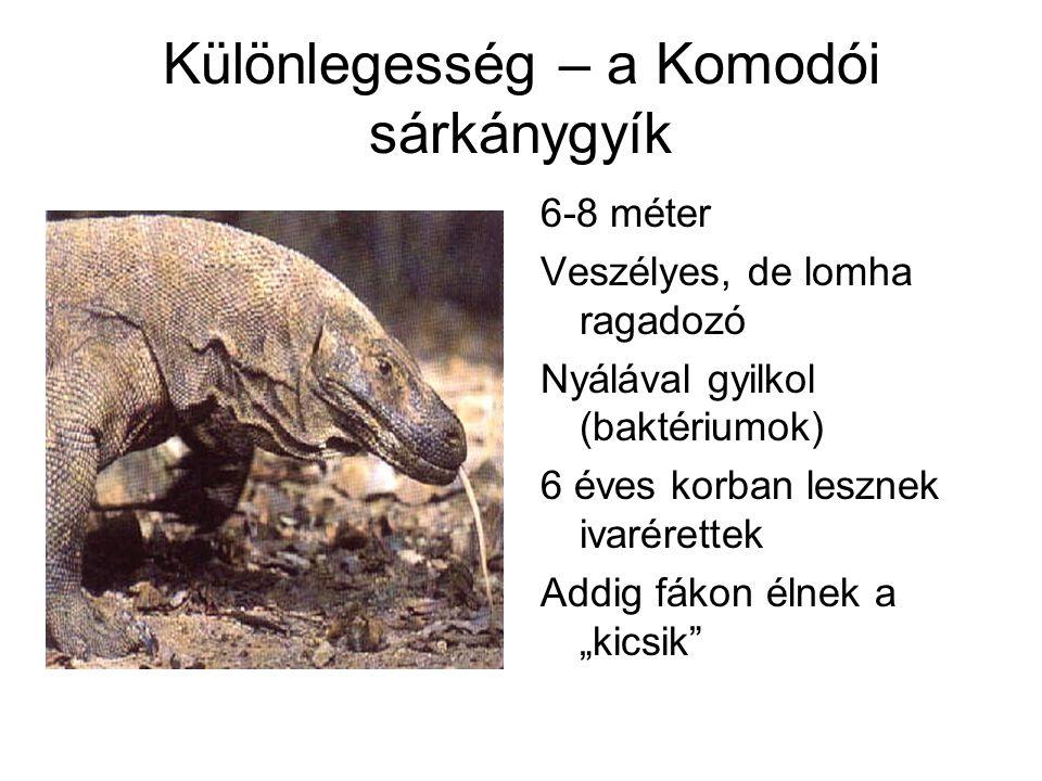 Különlegesség – a Komodói sárkánygyík