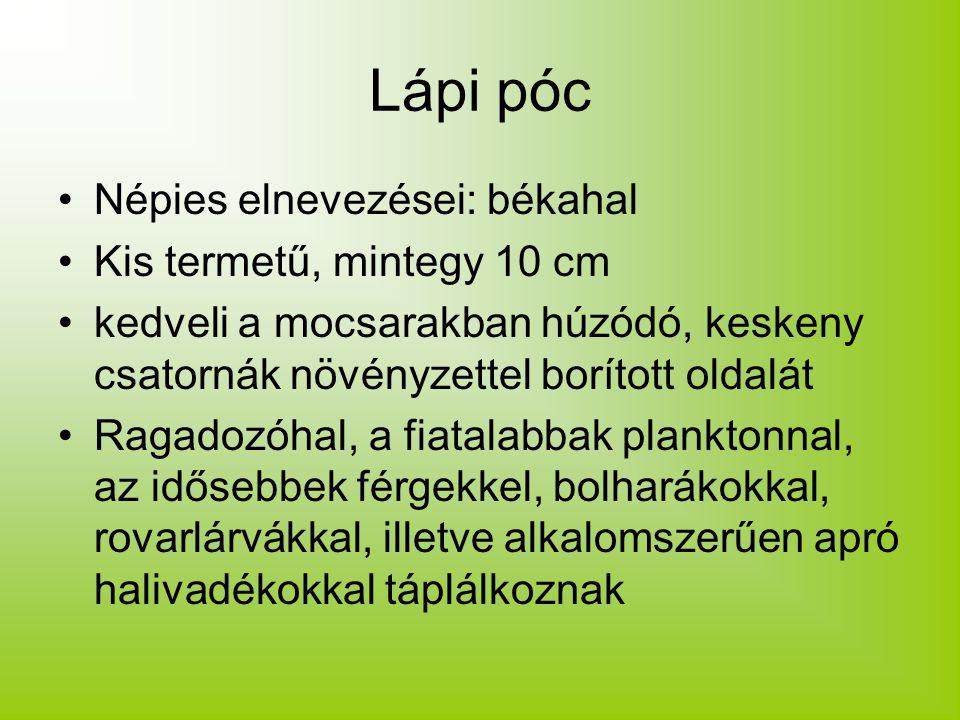 Lápi póc Népies elnevezései: békahal Kis termetű, mintegy 10 cm