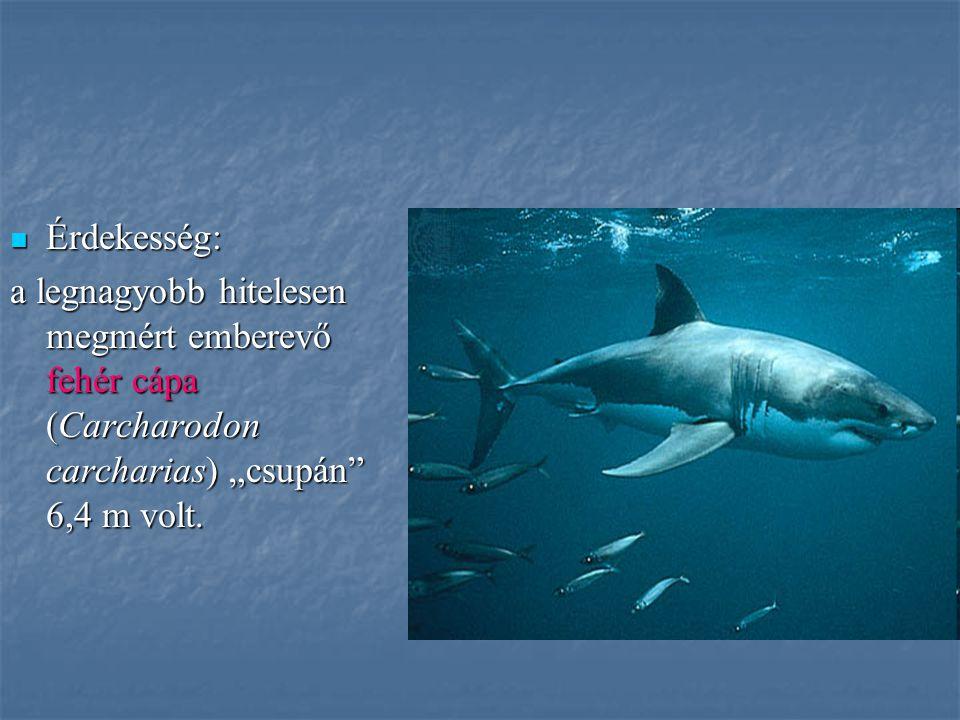 """Érdekesség: a legnagyobb hitelesen megmért emberevő fehér cápa (Carcharodon carcharias) """"csupán 6,4 m volt."""