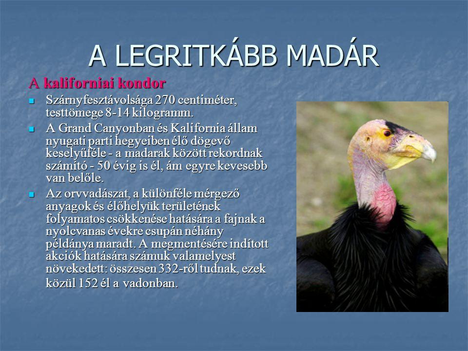 A LEGRITKÁBB MADÁR A kaliforniai kondor