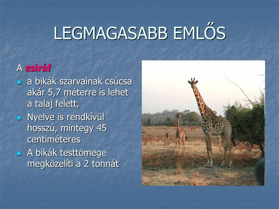 LEGMAGASABB EMLŐS A zsiráf