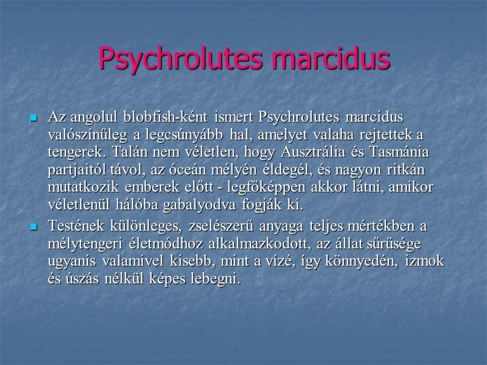 Psychrolutes marcidus