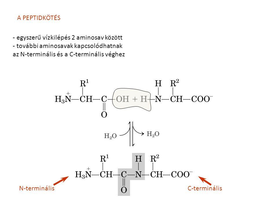 A PEPTIDKÖTÉS - egyszerű vízkilépés 2 aminosav között. - további aminosavak kapcsolódhatnak. az N-terminális és a C-terminális véghez.