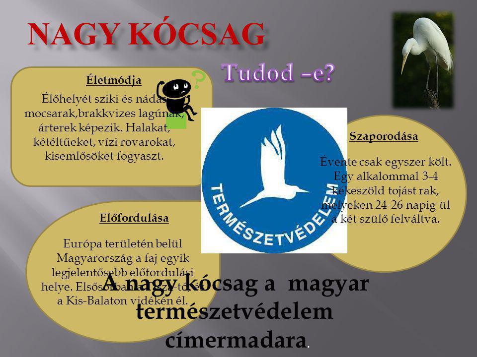 A nagy kócsag a magyar természetvédelem