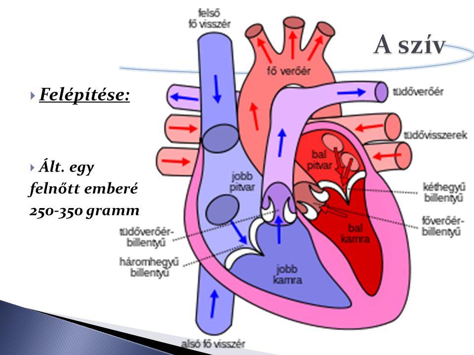 A szív Felépítése: Ált. egy felnőtt emberé 250-350 gramm