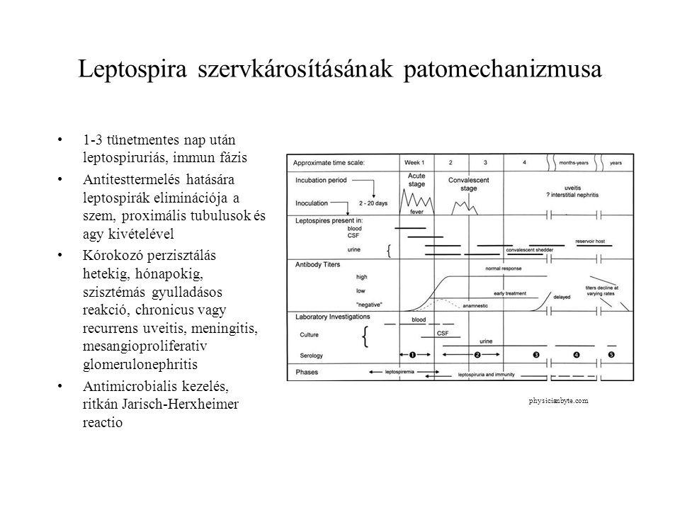 Leptospira szervkárosításának patomechanizmusa