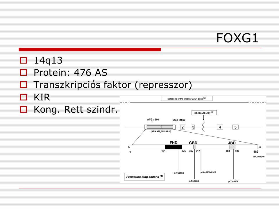 FOXG1 14q13 Protein: 476 AS Transzkripciós faktor (represszor) KIR