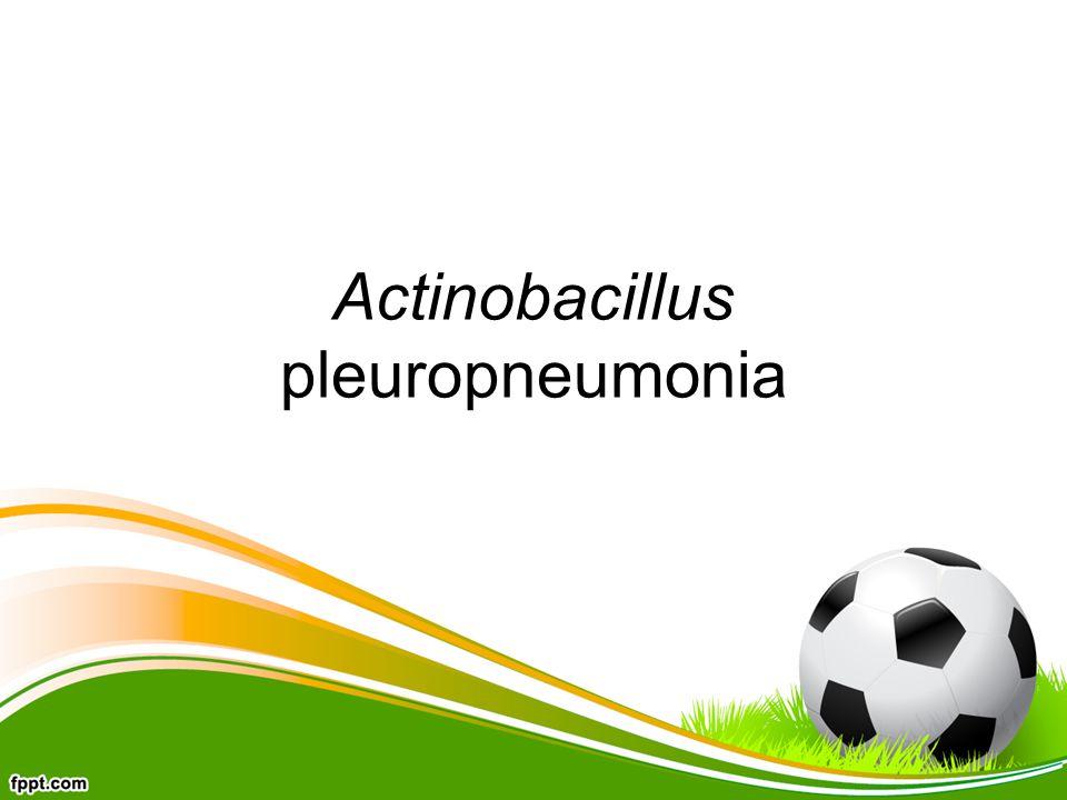Actinobacillus pleuropneumonia