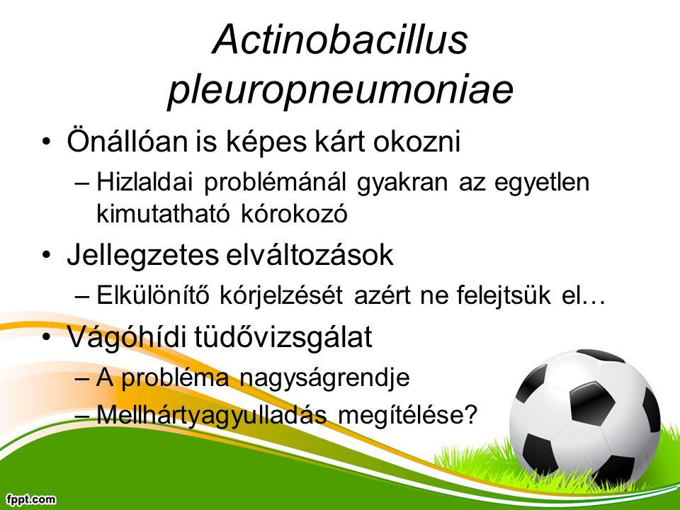 Actinobacillus pleuropneumoniae