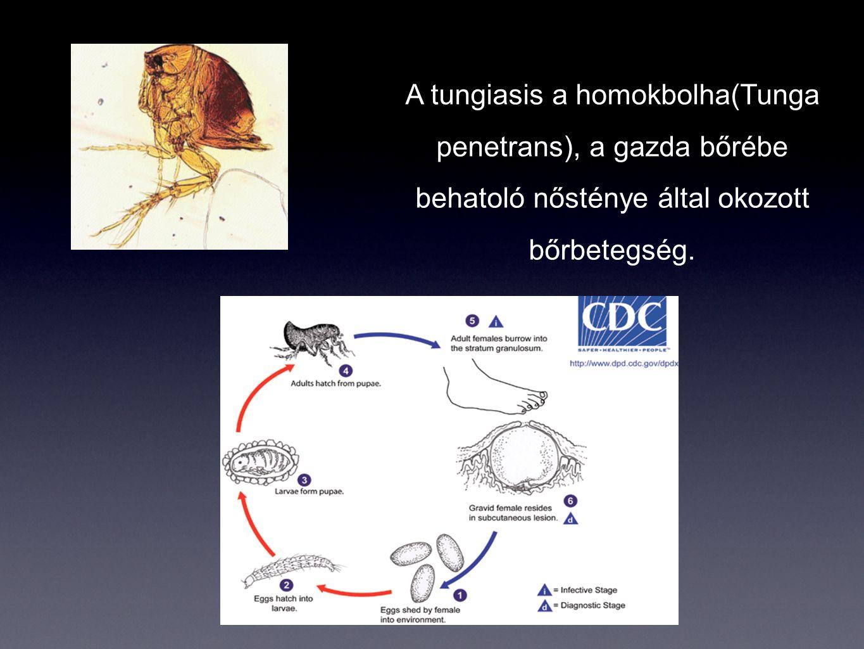 A tungiasis a homokbolha(Tunga penetrans), a gazda bőrébe behatoló nősténye által okozott bőrbetegség.