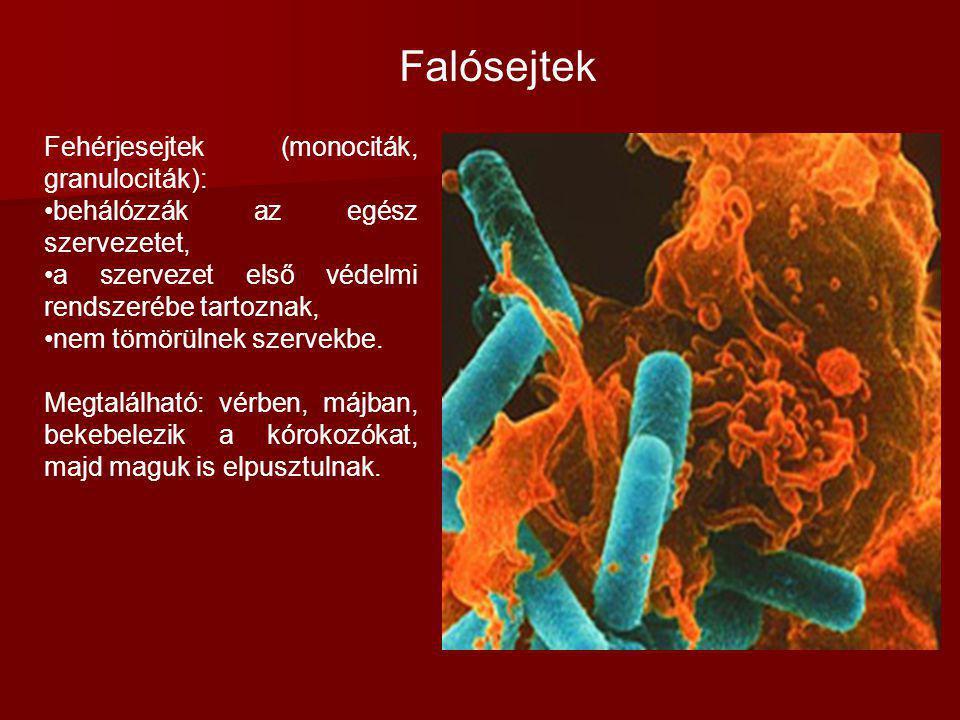 Falósejtek Fehérjesejtek (monociták, granulociták):