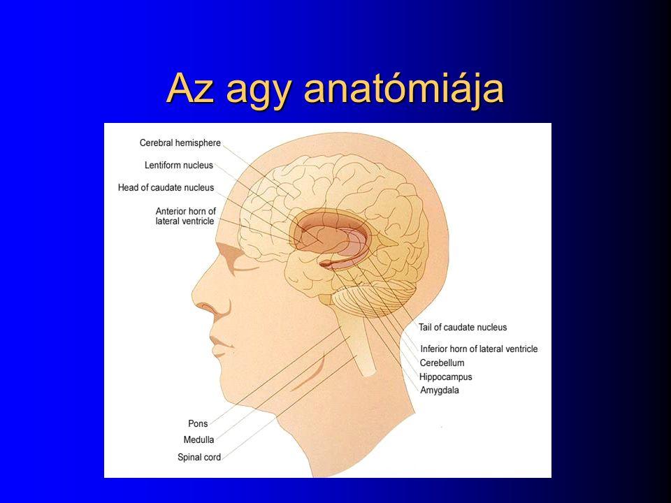 Az agy anatómiája