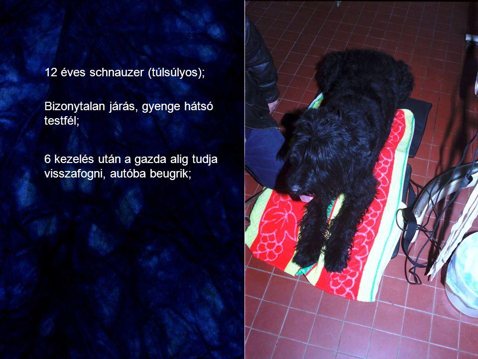 12 éves schnauzer (túlsúlyos);