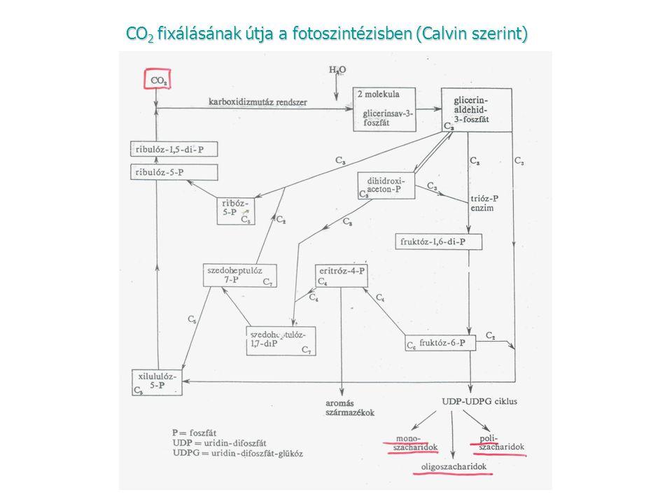 CO2 fixálásának útja a fotoszintézisben (Calvin szerint)