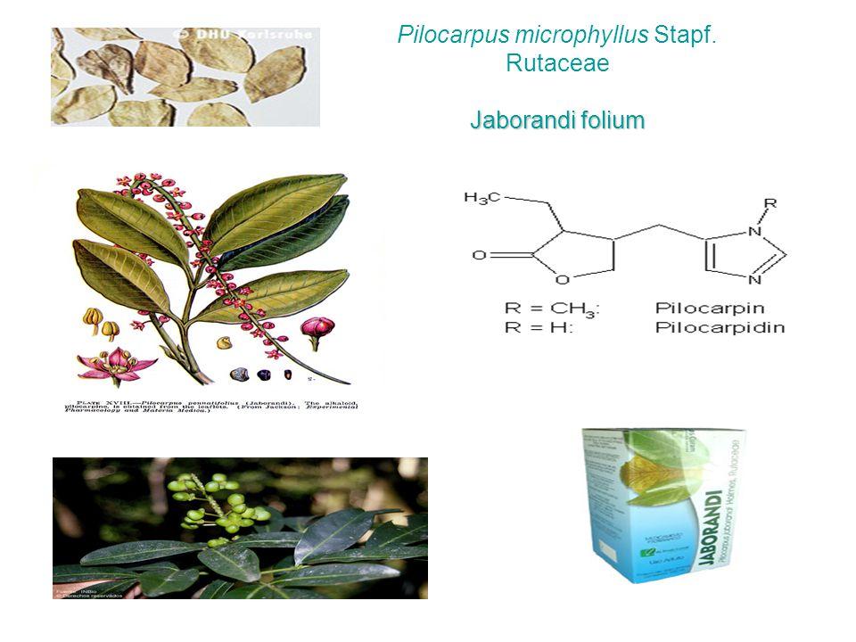 Pilocarpus microphyllus Stapf. Rutaceae Jaborandi folium
