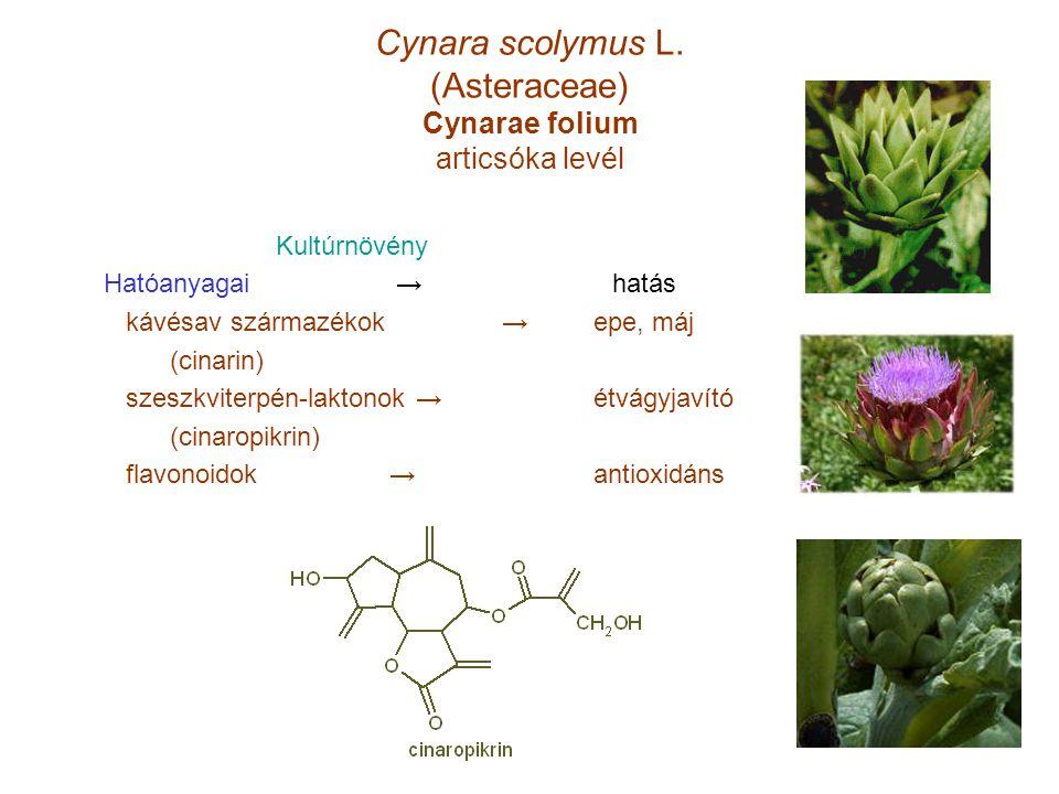 Cynara scolymus L. (Asteraceae) Cynarae folium articsóka levél