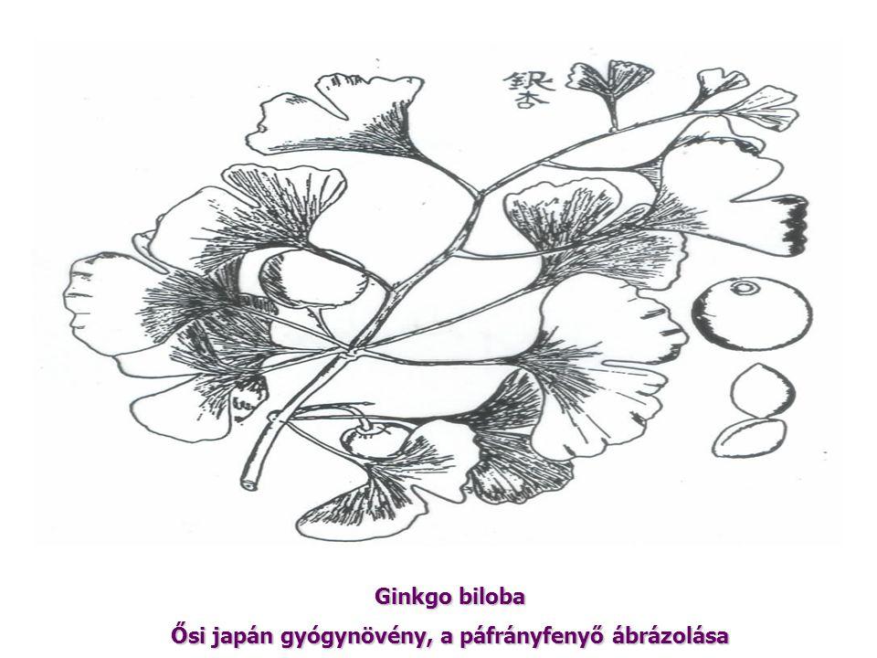 Ősi japán gyógynövény, a páfrányfenyő ábrázolása