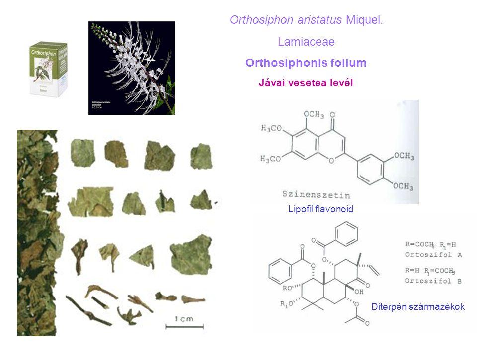 Orthosiphon aristatus Miquel.