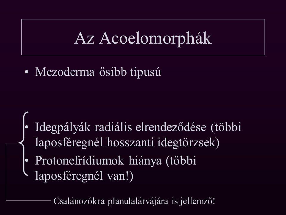 Az Acoelomorphák Mezoderma ősibb típusú