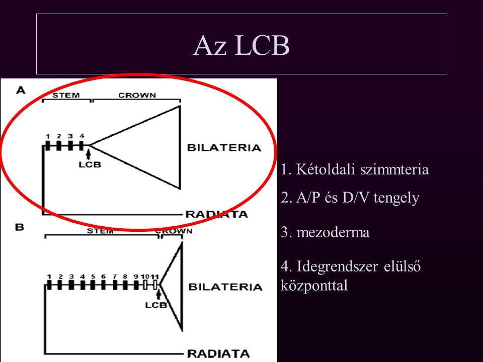 Az LCB 1. Kétoldali szimmteria 2. A/P és D/V tengely 3. mezoderma
