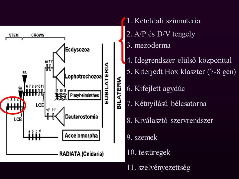 5. Kiterjedt Hox klaszter (7-8 gén)