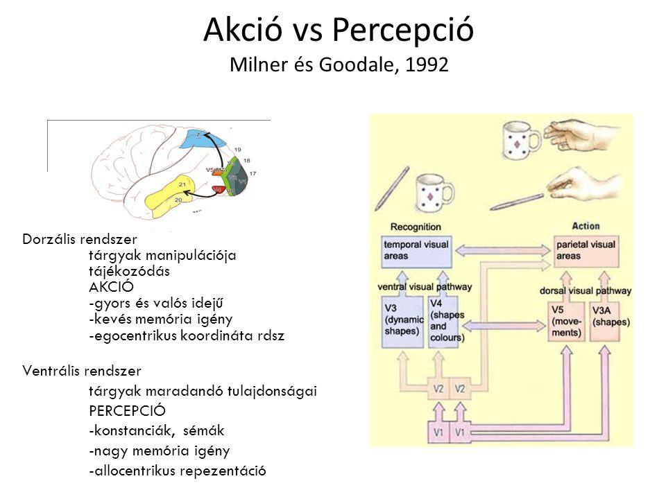 Akció vs Percepció Milner és Goodale, 1992