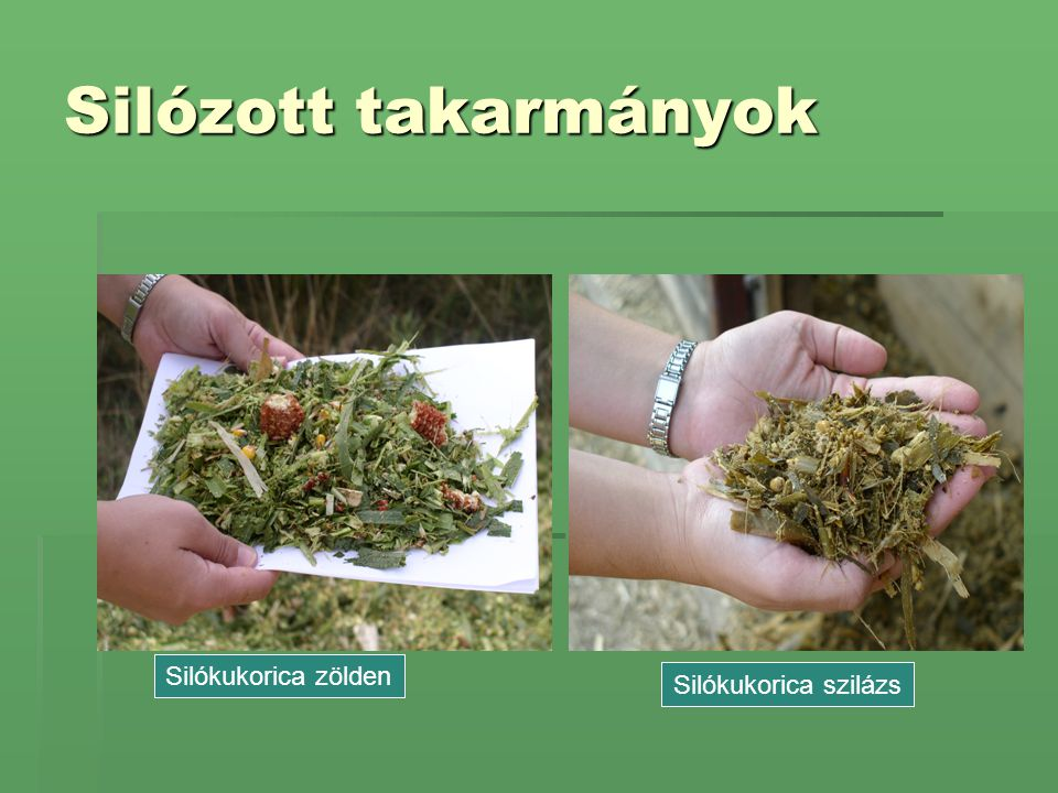 Silózott takarmányok Silókukorica zölden Silókukorica szilázs