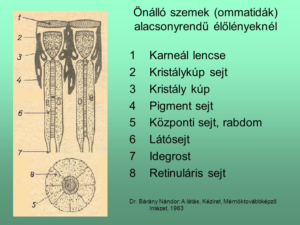 Önálló szemek (ommatidák) alacsonyrendű élőlényeknél