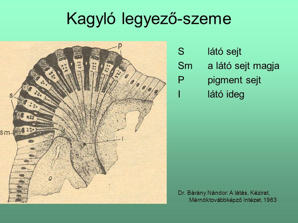 Kagyló legyező-szeme S látó sejt Sm a látó sejt magja P pigment sejt