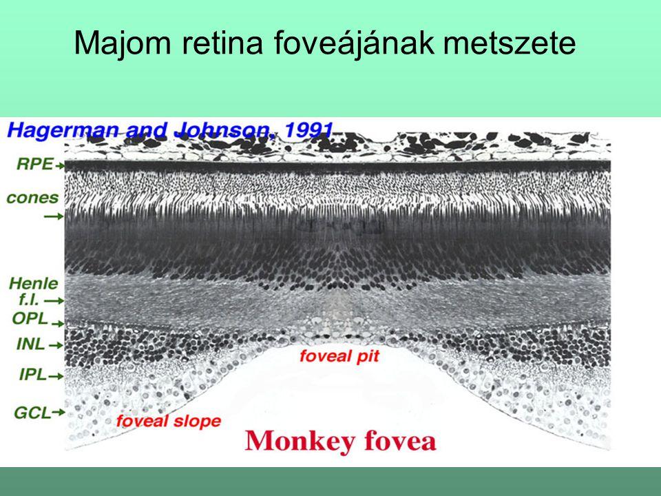 Majom retina foveájának metszete