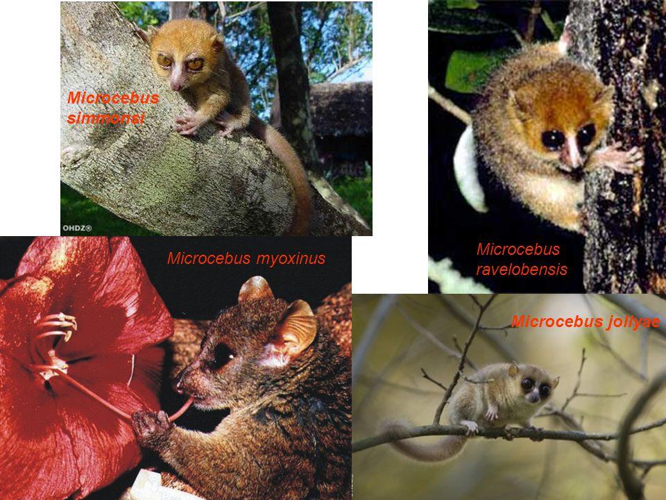 Microcebus simmonsi Microcebus ravelobensis Microcebus myoxinus Microcebus jollyae