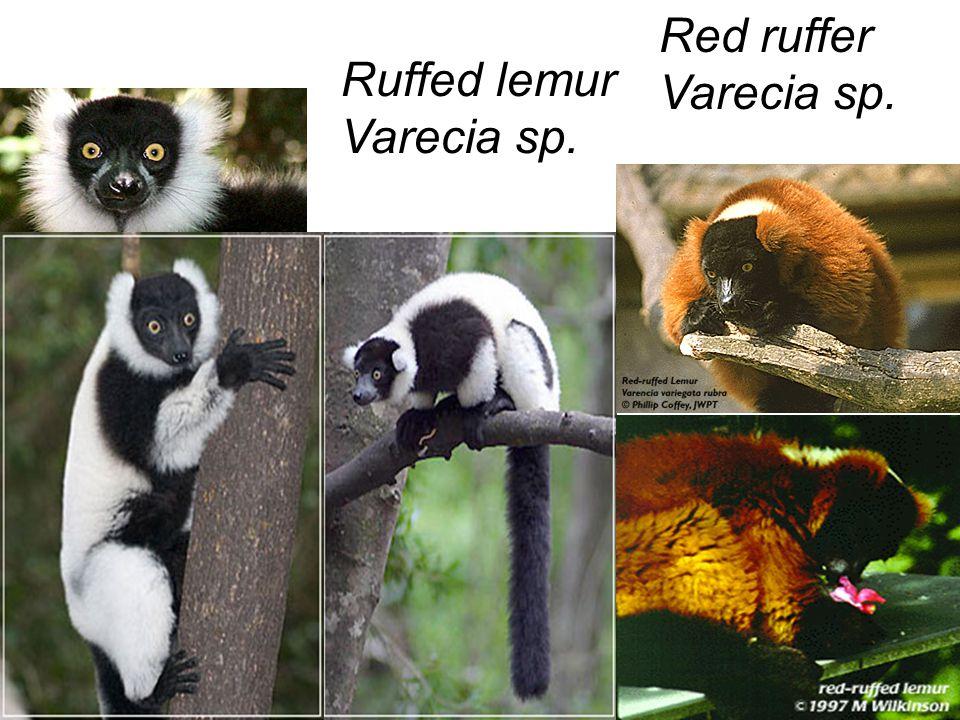 Red ruffer Varecia sp. Ruffed lemur Varecia sp.