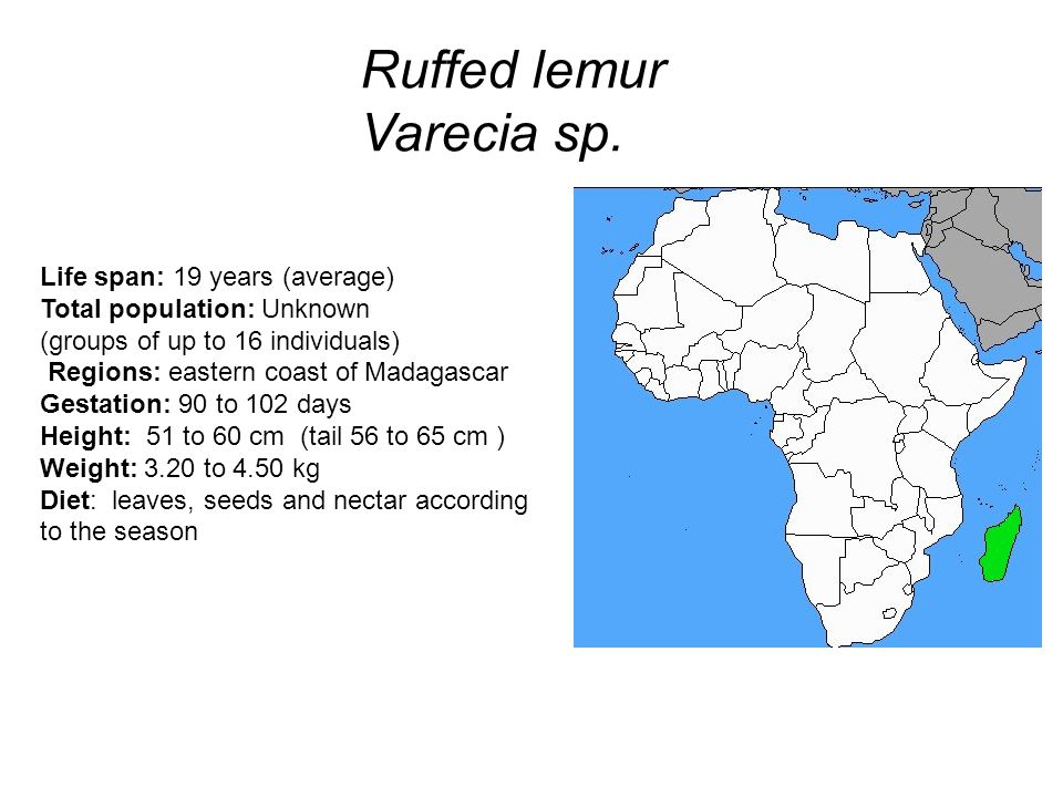 Ruffed lemur Varecia sp.