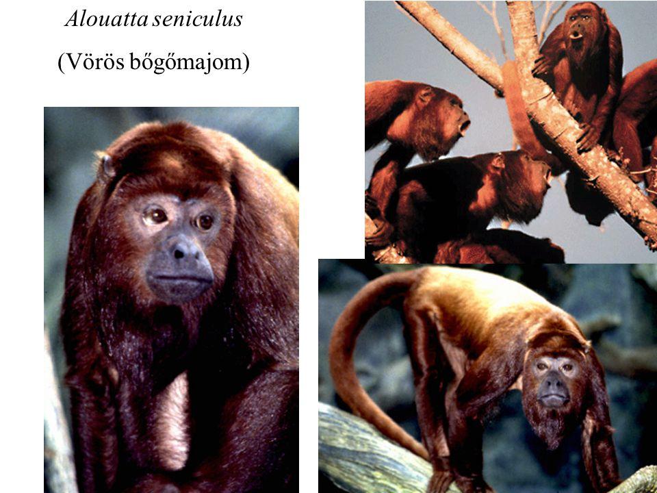 Alouatta seniculus (Vörös bőgőmajom)