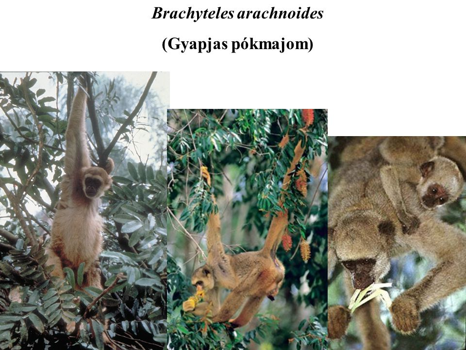 Brachyteles arachnoides